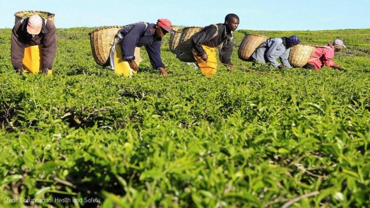 Former workers sue Tea Firm for WMSDs and other unsafe conditions