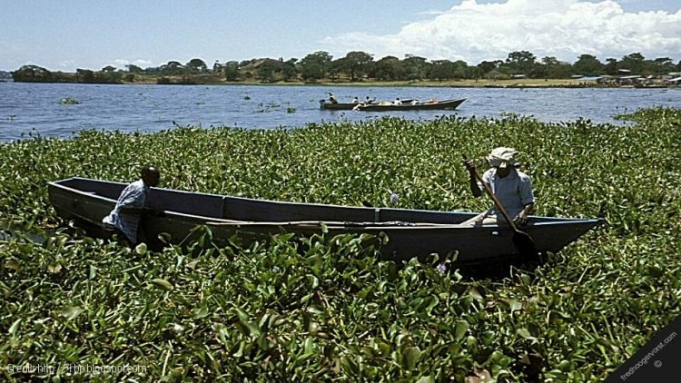 Firm seeks to Generate Electricity from Lake Victoria Hyacinth